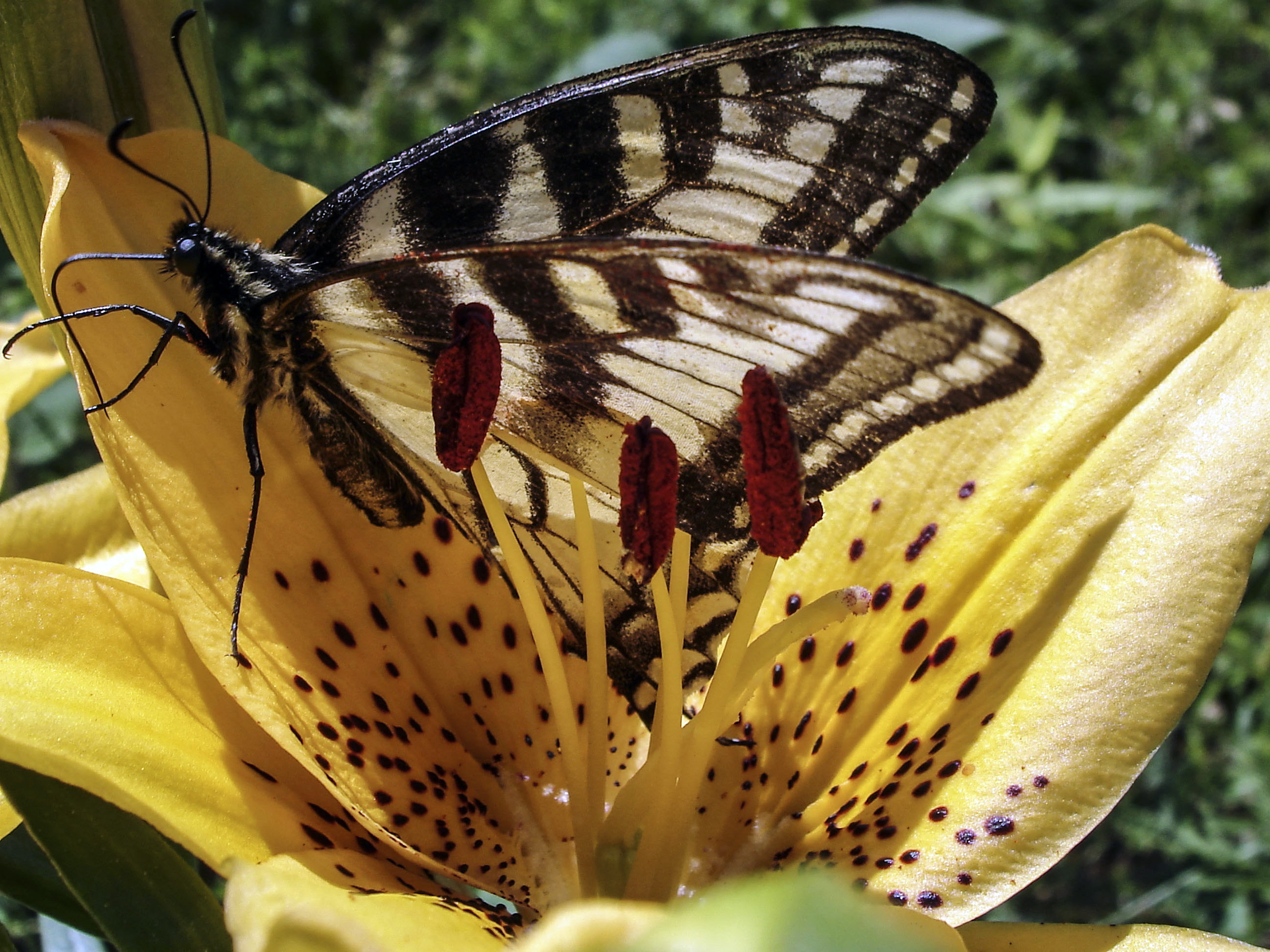 Butterfly on Yellow Lily
