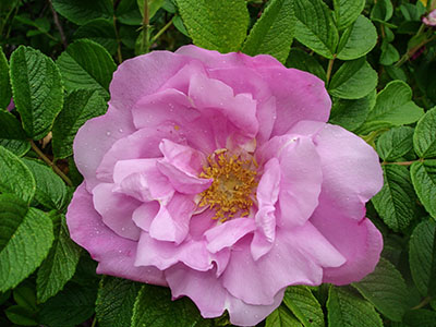 Foxie Pavement Rose